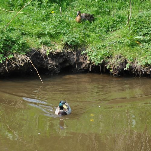 Hopeful ducks