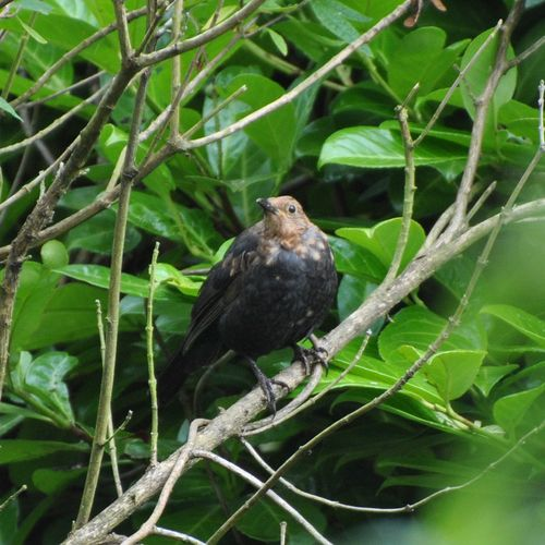 Young blackbird 2