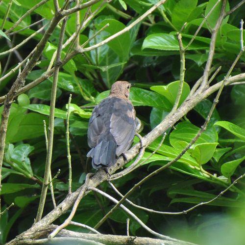 Young blackbird 3