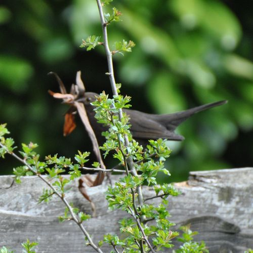 female blackbird nesting