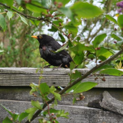 injured blackbird