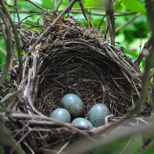 Blackbird's nest with eggs