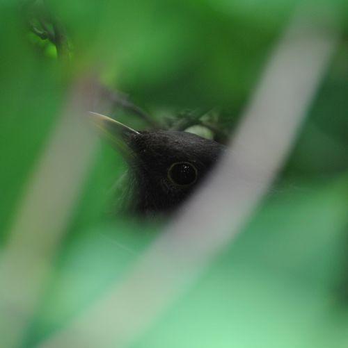Female blackbird on nest