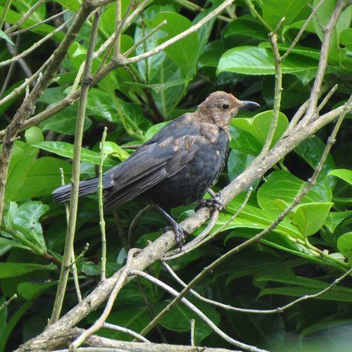 Young blackbird