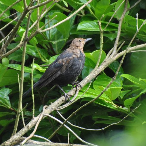 Young blackbird 4