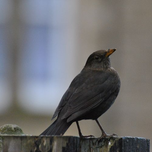 female blackbird 2