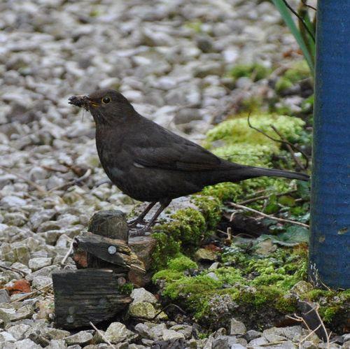 female blackbird 3