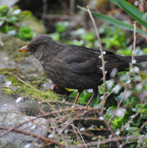 female blackbird 4