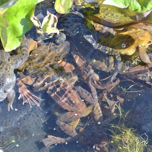 frogs spawning 2