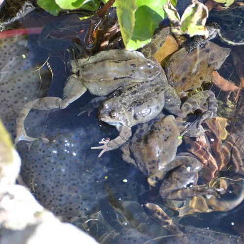 frogs spawning 4