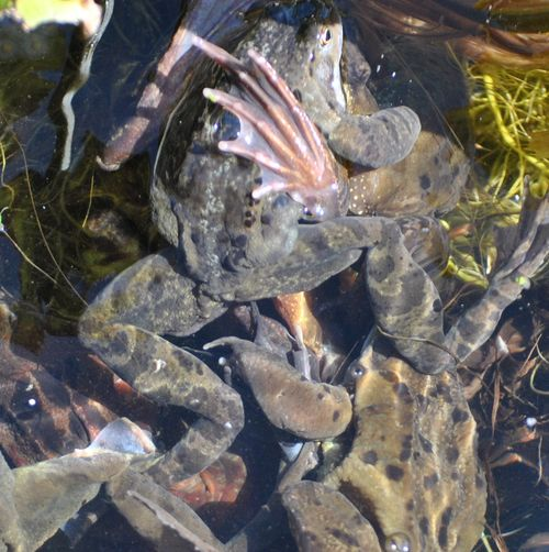 frogs spawning 9