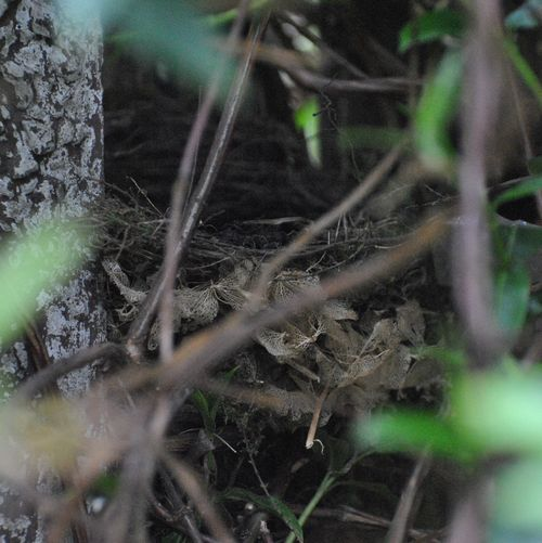 this year's blackbird nest