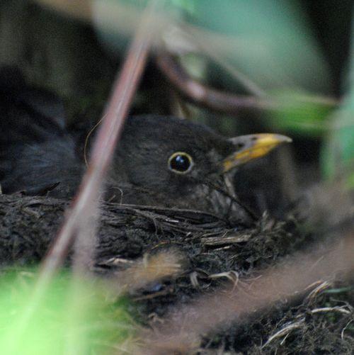 blackbird on nest