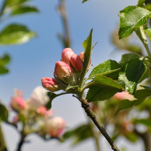 Egremont russet apple blossom