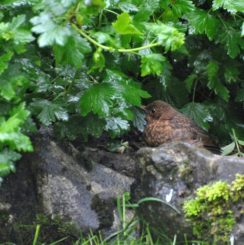 baby blackbird-3 weeks after fledging