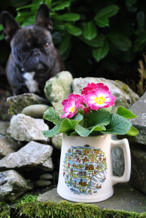 primula in mug with Coco