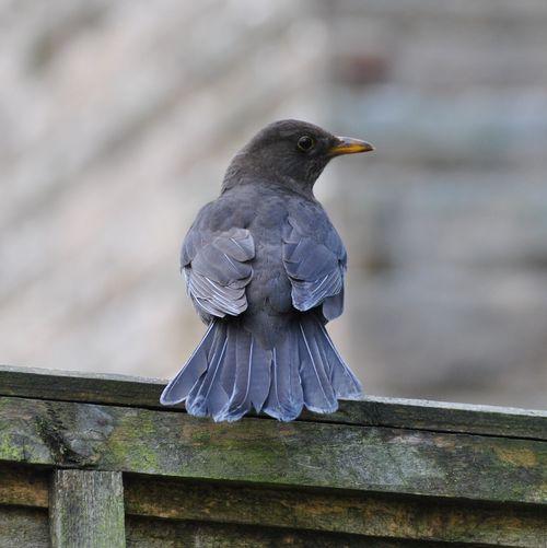 female blackbird 6