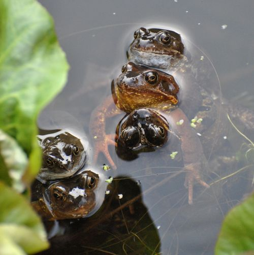 frogs spawning 3