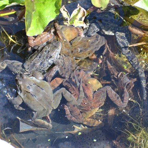 frogs spawning 6