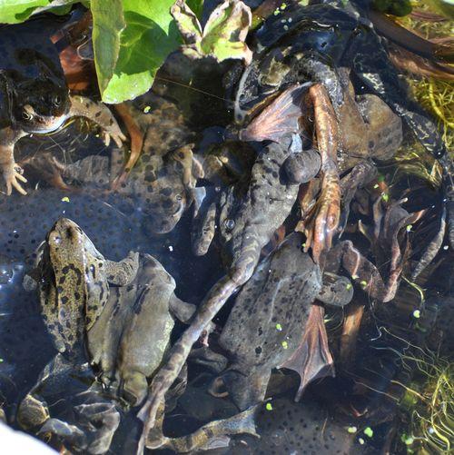 frogs spawnng 8