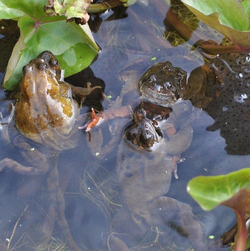frogs spawning 10