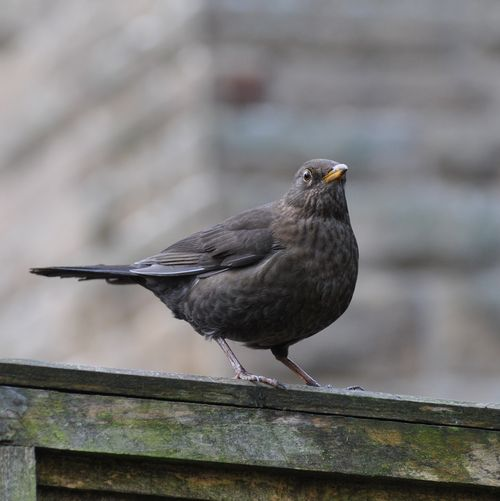 female blackbird 7