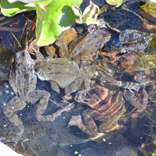 frogs spawning 5