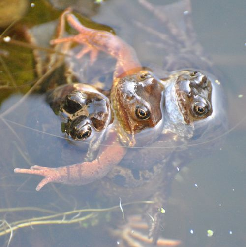 frogs spawning 7