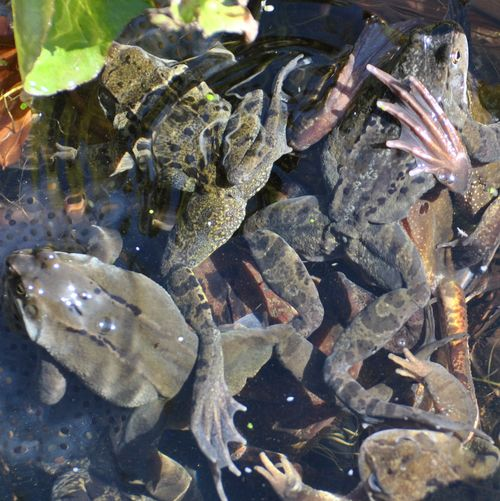 frogs spawning 12