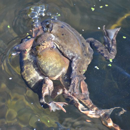frogs spawning 13