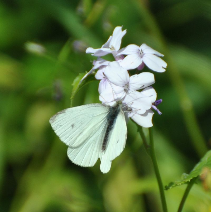 cabbage butterfly on phlox