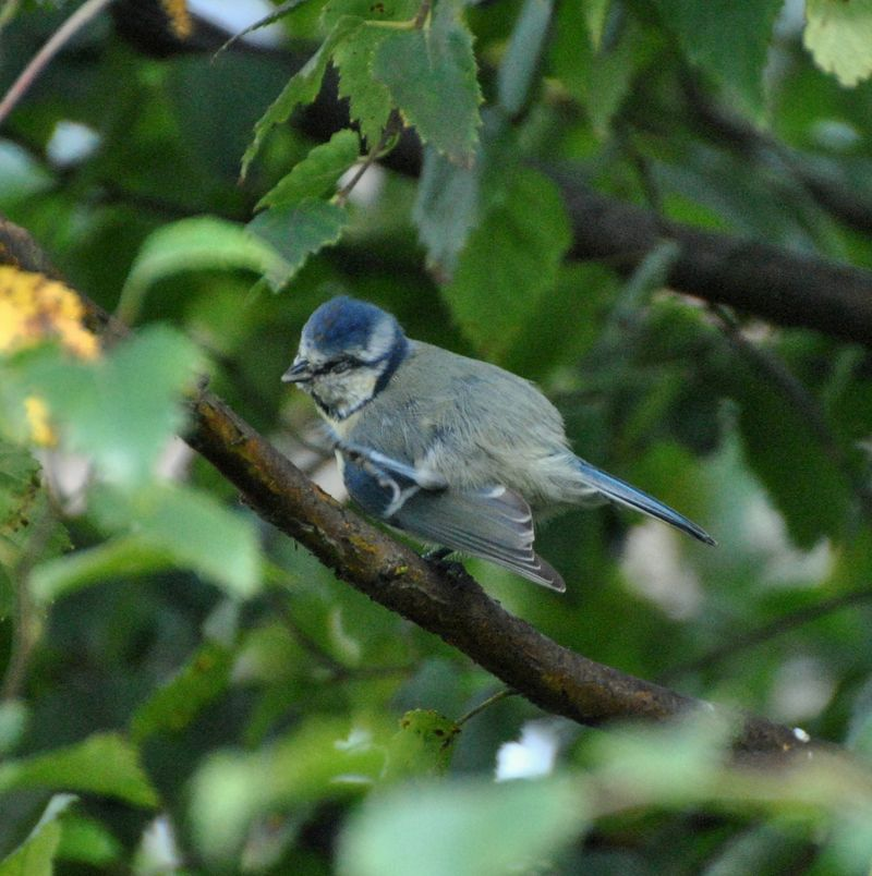 blue tit scratching