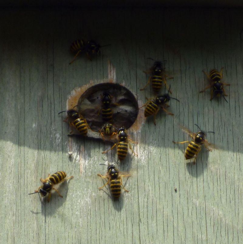 wasps in bird box